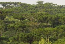 motivos árvores em extinção blumenau